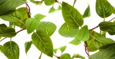 Free Green Leaves Stock Photography - 15545632