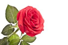 Free Red Rose Stock Image - 15545711