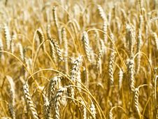 Free Wheat Royalty Free Stock Image - 15546106