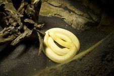 Free Albino Monocle Cobra Stock Photo - 15548340