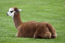 Free Alpaca Royalty Free Stock Photos - 15548508