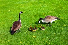 Free Wild Geese In A Family Stock Images - 15549364