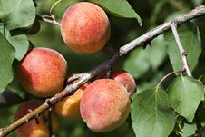 Fresh Ripe Apricots Stock Photos