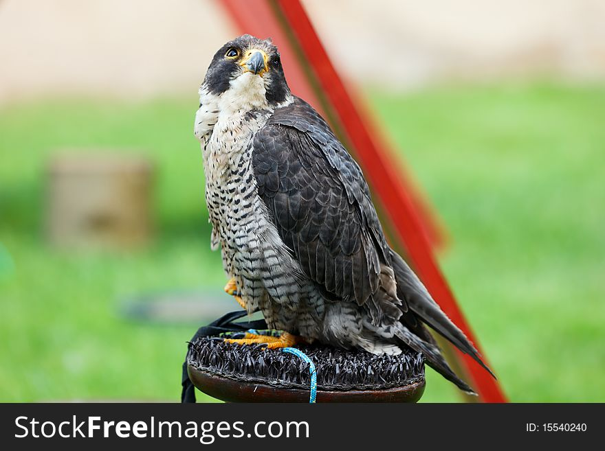 Falcon peregrine (Falco peregrinus) on a perch.