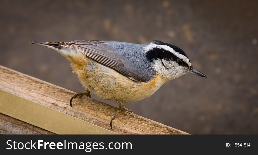 A Red-breasted Nuthatch closeup