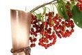 Free Still, Bird Cherry (Prunus Padus) Stock Photos - 15555983