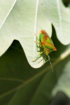 Hawthorn Shield Bug Stock Photos