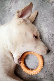 Free Playful Dog Royalty Free Stock Photography - 15550537