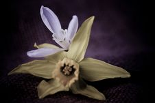 Free Snowdrop And Daffodil Royalty Free Stock Photography - 15551677