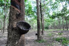 Free Rubber Tree Royalty Free Stock Images - 15551749