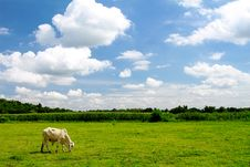 Free Herd Of Cows Grazing Royalty Free Stock Images - 15552149
