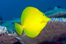 Free Yellow Tang (Zebrasoma Flavescens) Royalty Free Stock Photo - 15552705