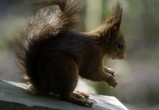 Free Red Squirrel Nut Stock Photo - 15552930