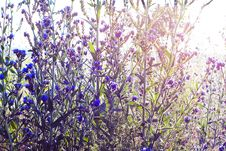 Free Beautiful Blue Flowers In Sunlight Stock Images - 15552934