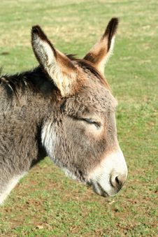 Free Donkey In A Field Stock Photo - 15553390