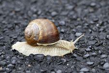 Free Edible Snail Royalty Free Stock Photo - 15554755