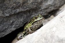 Free Frog Royalty Free Stock Photos - 15555068