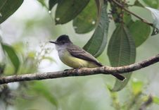 Free Dusky-capped Flycatcher,Ecuador Stock Photography - 15555362