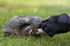 Free Turtle On A Golf Course Stock Photos - 15555533