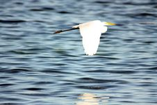 Free White Heron Stock Photo - 15555540