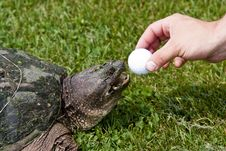 Free Turtle On A Golf Course Stock Image - 15555541
