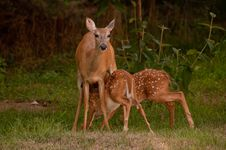 Free Doe And Fawn Stock Photo - 15556340