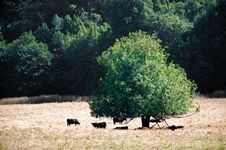 Free Black Cows Royalty Free Stock Images - 15556579