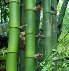 Free Green Bamboo Groves Royalty Free Stock Photography - 15557397