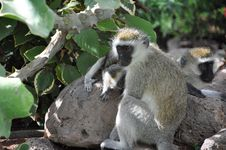 Free Curious Young Vervet Monkey Royalty Free Stock Image - 15557966