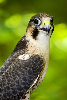 Free Peregrine Falcon (Falco Peregrinus) Stock Photos - 15558043