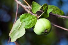 Free Green Apple Royalty Free Stock Photos - 15559118