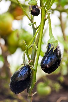 Free Eggplants Royalty Free Stock Photos - 15559138