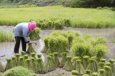 Free Farmers Planting Rice Royalty Free Stock Photography - 15559577