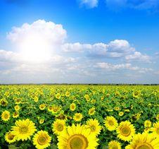 Yellow Field Of Sunflowers Stock Image