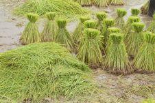 Free Farmers Planting Rice Stock Photos - 15559753
