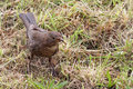 Free Blackbird With Food Stock Photos - 15561063