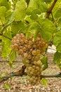 Free White Grapes Stock Photo - 15561180