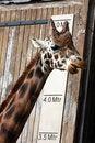 Free Giraffe Stock Photos - 15564233