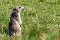 Free Marmot In The Alps Royalty Free Stock Photography - 15568947