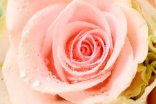 Free Pink Rose Stock Image - 15560831