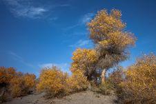 Free Populus Euphratica Stock Image - 15560951
