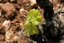 Free Vine Bud Stock Images - 15561174