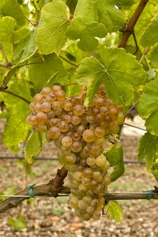 Free White Grapes Stock Photo - 15561180