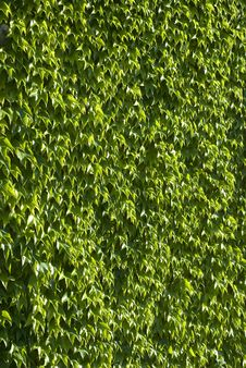 Free Wall Of Green Leaves Stock Photography - 15561542