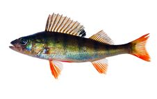 Free Small Perch With Red Fins Stock Image - 15561831