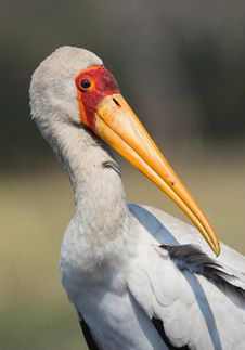 The Yellow-billed Stork. Royalty Free Stock Photography