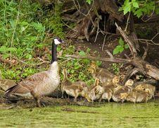 Free Canada Goose Herd Royalty Free Stock Image - 15563376