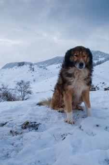 Sheepdog, Shepherd Dog In Winter Royalty Free Stock Images