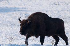 Male Of European Bison (Bison Bonasus) In Winter Stock Image