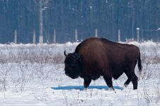 Free European Bison (Bison Bonasius) In Winter Royalty Free Stock Photography - 15563727